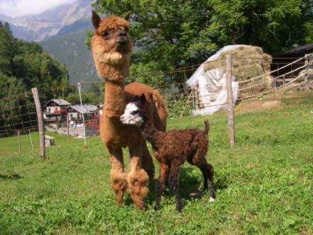 Alpacas La Foppa - trekking con gli alpaca